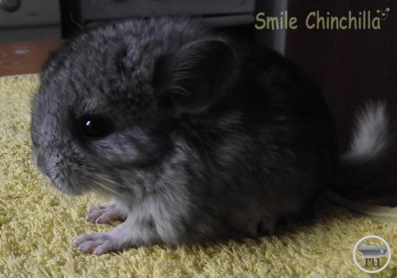 Smiling chinchilla