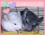 жасмин chinchillas