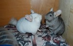 OlgaChins chinchillas
