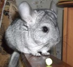 Himera chinchillas