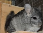 KatiaNN chinchillas
