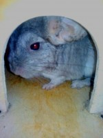 Niksi chinchillas